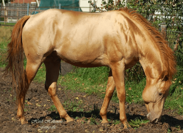caballo de color champan